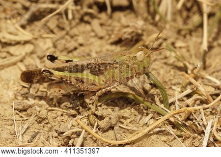 Closeup On A Broad Green-winged Grasshopper , Broad Green-winged Grasshopper In Gard, France