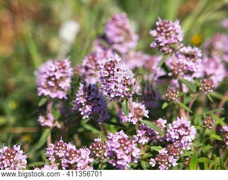 Wild Thyme Blooming, Pale Pink Flowers, Thymus Vulgaris