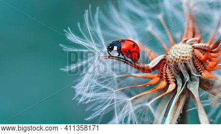 Black And Red Ladybird Sitting In The Flower, Beautiful Flowers, Small Insect,beetles, White Flower