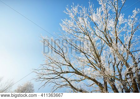 Low Angle View Of The Tall Deciduous Trees After A Blizzard, Tree Trunks Close-up. Hoar Frost On Bra