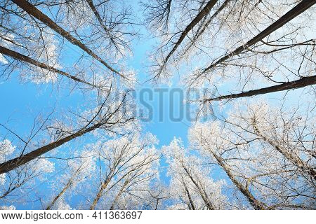 Low Angle View Of The Birch Forest After A Blizzard, Tree Trunks Close-up. Hoar Frost On Branches. C