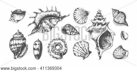 Hand Drawn Tropical Marine Seashells. Black And White Graphic Sketch Of Bivalves Or Spiral Clamshell
