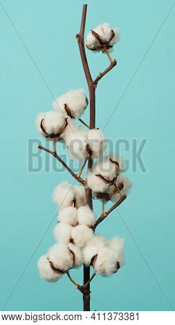 Cotton Branch. Real Delicate Soft And Gentle Natural White Cotton Balls Flower