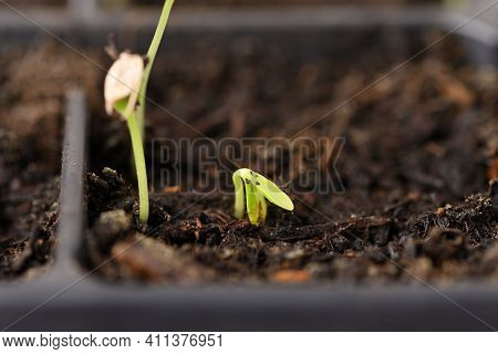 Young Seedling In A Plastic Tray, Close Up.