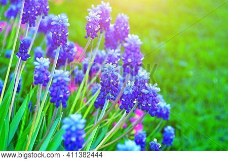 Spring flowers muscari,spring flower background,flowers in the spring garden,blue spring muscari flowers,garden spring flowers in spring blosson,spring muscari flowers.Spring flower landscape,spring flowers in bloom,spring muscari flowers on the flower be