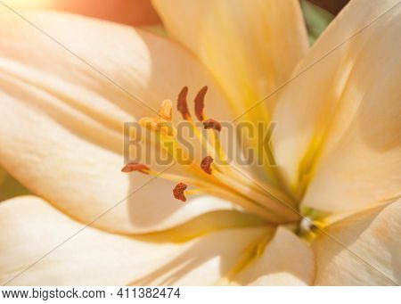 Lily flower of peach color blooming in the flower garden. Selective focus at the lily flower stamens,flower landscape,flower background,flower nature,lily flower,bloomimg lily flower,natural lily flower,flower in the garden,summer lily flower