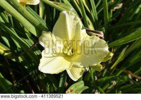Flowering Day-lily Flowers (hemerocallis Flower), Closeup In The Sunny Day. Hemerocallis Fulva. The
