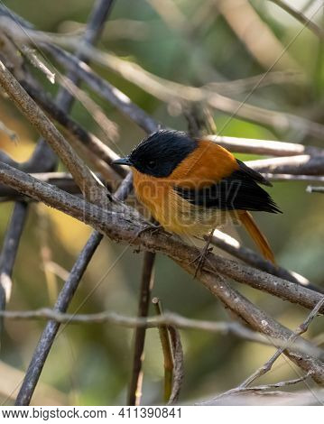 A Tiny And Beautiful Male Black And Orange Flycatcher (ficedula Nigrorufa), Perched On A Branch In T