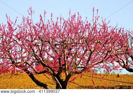 Cherry Tree Flower Blossoms During Spring Taken On A Rural Pasture Taken At An Agricultural Ranch In