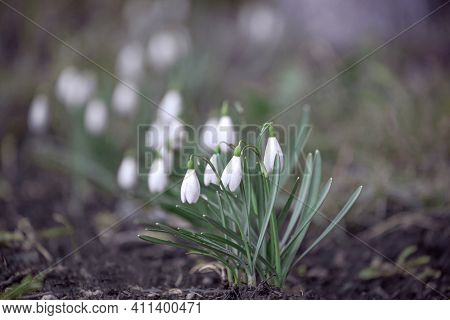 Spring Natural Background, White Snowdrop Flowers In Spring In The Forest, Hello Spring, Welcome Mar