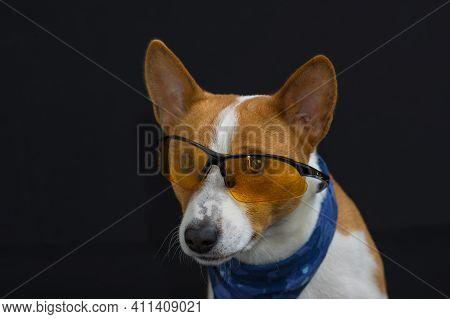 Nice Low Key Potrait Of Stylish Basenji Dog Wearing Blue Kerchief And Having Intent Look  Through Ye