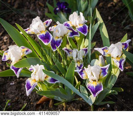 White Violet Dwarf Iris Mikey Likes It  In Spring Garden.