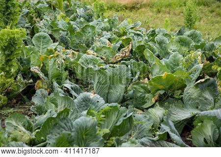Young Green Cabbage Without Kachans With Large Leaves In The Garden In Summer.