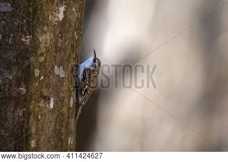Eurasian Or Common Treecreeper (certhia Familiaris) Perching On A Tree Trunk With Blurred Background