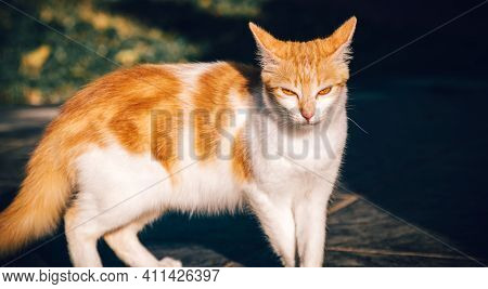 The Angry Facial Expression And The Mean Eyes Of The Cat Looking At The Camera, White And Orange Flu