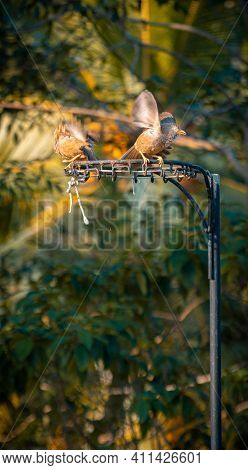 Yellow-billed Babbler Bird Couple Having A Casual Discussion Perched On Top Of A Netball Post In The