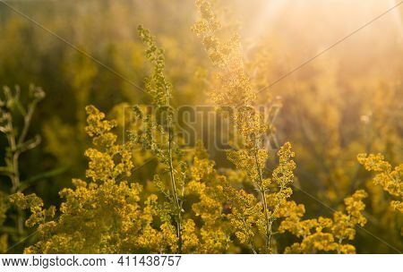 Tall Yellow Goldenrod Flowers In A Field In The Bright Rays Of The Setting Sun.