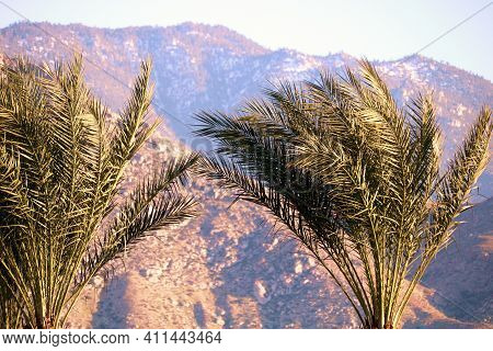 Manicured Palm Trees With Rugged Barren Mountains Beyond During Sunset Taken At The Colorado Desert