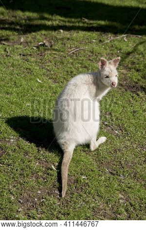 The Albino Wallaby Has A Pink Nose, Pink Eyes And Pink Ears
