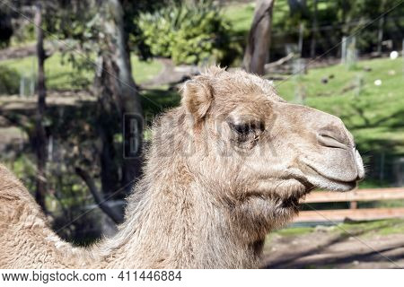 The Camel Is Brown With One Hump