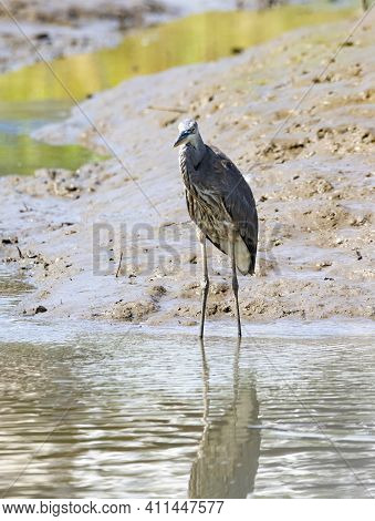 Nyctanassa Violacea Species Also Known As Crab Heron, A Tropical Bird In His Natural Habitat, Osa, C