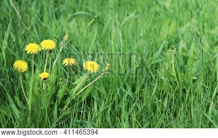 Close-up yellow blooming dandelions in green grass. Horizontal spring background with fresh yellow blowball dandelion flowers. Copy space for text