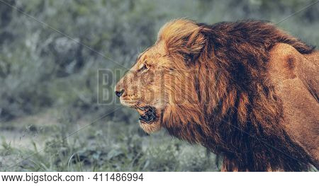 Big Wild Roaring Lion. Profile Portrait of the King of the Jungle. Big Five. Safari Game Drive. Wild Animals of South Africa.