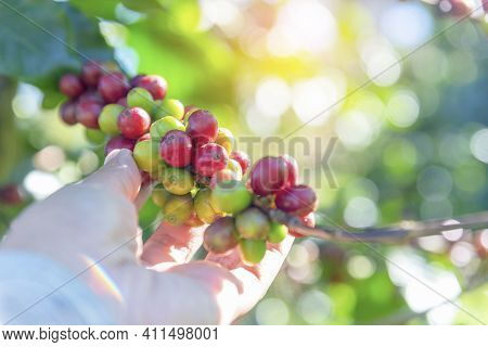 Man Hands Harvest Coffee Bean Ripe Red Berries Plant Fresh Seed Coffee Tree Growth In Green Eco Orga