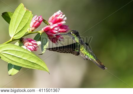 Amazilia Decora, Charming Hummingbird, Bird Feeding Sweet Nectar From Flower Pink Bloom. Hummingbird