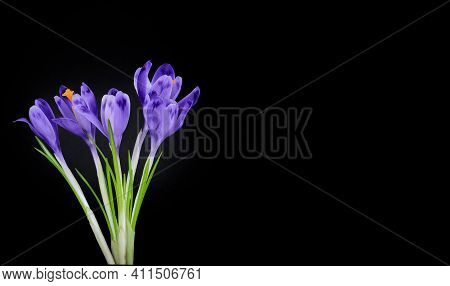 Spring Flowers Violet Isolated On Black Background.