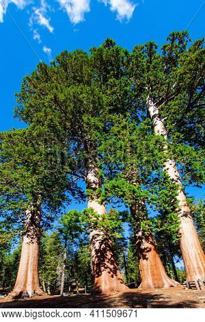 Redwood. Sequoia Park in California, USA. The natural range of the genus is the Pacific coast of North America. Travel to America.