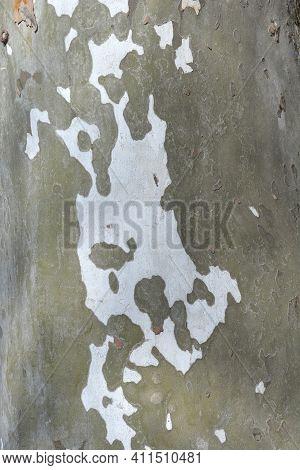 London Plane Bark Detail - Latin Name - Platanus X Hispanica (platanus X Acerifolia)