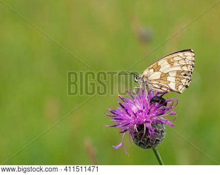Marbled White Butterfly (melanargia Galathea) Female On Purple Flower Of Greater Knapweed (centaurea