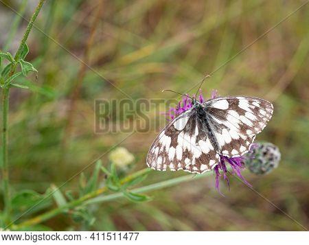 Marbled White Butterfly (melanargia Galathea) On Purple Flower Of Greater Knapweed (centaurea Scabio