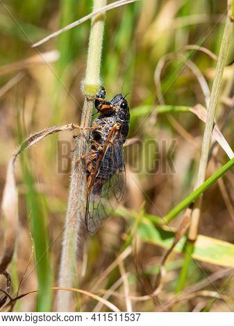 New Forest Cicada Female ( Cicadetta Montana) On Stem In Natural Habitat