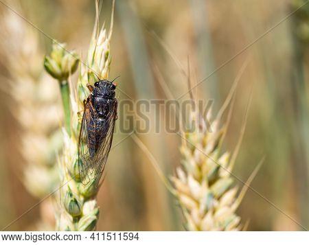 New Forest Cicada Female ( Cicadetta Montana) On Wheat In Natural Habitat
