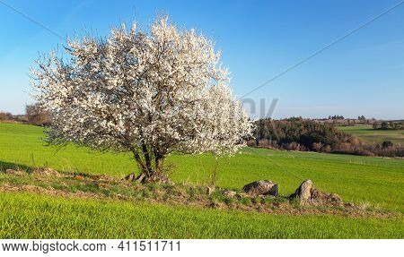 White Flowering Blackthorn Bush Or Tree And Green Field, Springtime View From Bohemian And Moravian