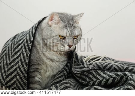 Unsatisfied Cat Covered By Blanket Or Plaid, Cat With Serious Face Expression Wrapped In Warm Plaid