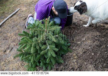 man planting fir tree in the back yard home gardening
