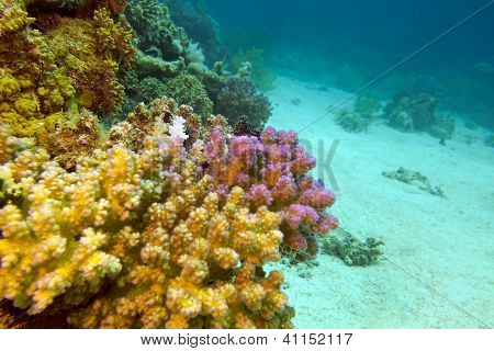 view of coral reef with hard corals at the bottom of red sea in egypt - underwater photo poster