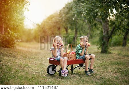 Apple Harvest And Picking On Farm In Autumn. Adorable Little Two Children Girl And Boy Picking Fresh