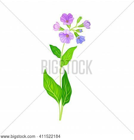 Lungwort Or Pulmonaria Flowering Plant With Violet Inflorescences Vector Illustration
