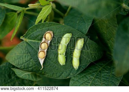 Soybean Seeds With Soybean Leaf In Different Stages