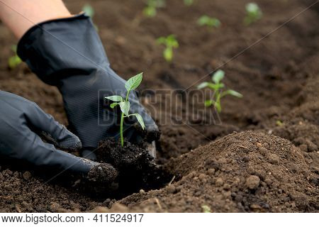 Planting Seedlings Of Sweet Pepper In The Ground In The Garden. Two Hands In Black Gloves. Farming.
