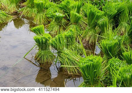 Close Up Of Green Rice Plants. Bundles Of Rice Plants. Rice Fields In Bali, Indonesia. Jatiluwih Ric