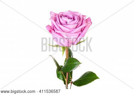 Beautiful Pink Purple Rose With Long Stem Isolated On White Background