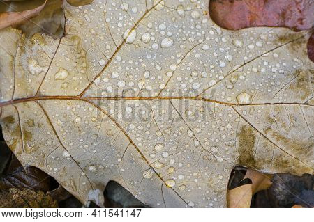 Dry Autumn Leaf In Dew Drops. Dry Fall Leaf Texture Detail. Abstract Background Of Autumn Beauty Of