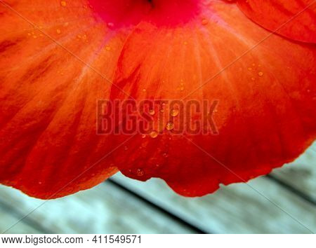 A Gentle Missouri Rainfall Left Drops Of Water Resting Delicately On The Pretty Orange Flower Petals