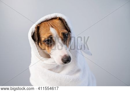 Portrait Of A Cute Dog Jack Russell Terrier Wrapped In A White Terry Towel On A White Background