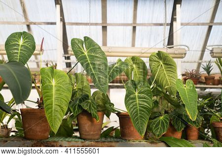 Alocasia With Green Leaves In Terra Cotta Flower Pots In Greenhouse. Tropical Plants In Glasshouse I
